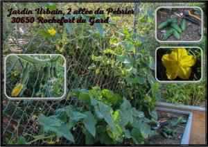 culture cornichon jardinière grillage - jardin urbain - association la jarre écocitoyenne