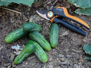 culture cornichon - récolte du jour sur un seul pied