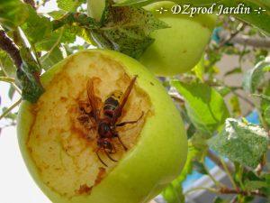 Frelon européen se régalant d'une pomme golden - DZprod Jardin