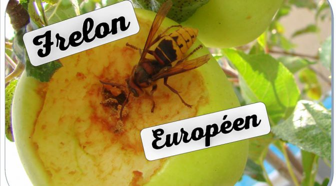 Le frelon européen au jardin de DZprod
