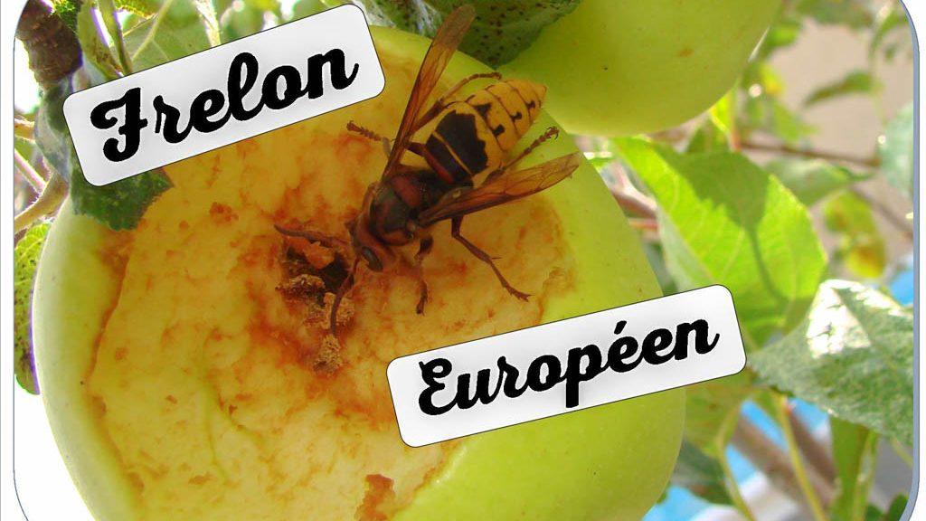 frelon européen mangeur de pomme - DZprod Jardin