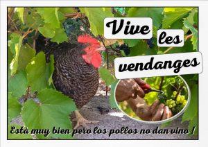 La vendange des poules - Jardin du Loucascarelet - 31 août 2017