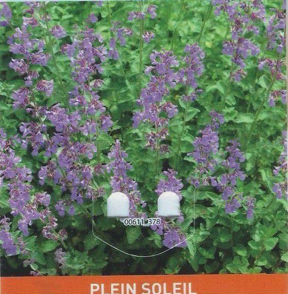 Népéta - Herbe aux chats - botanic - vivace - 2€99