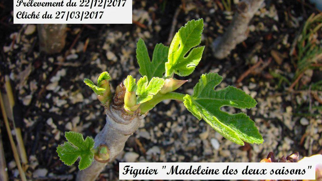 bouture de figuier Madelaine des 2 saisons