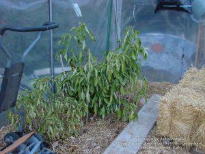 Plant de poivrons au 12-02-2018