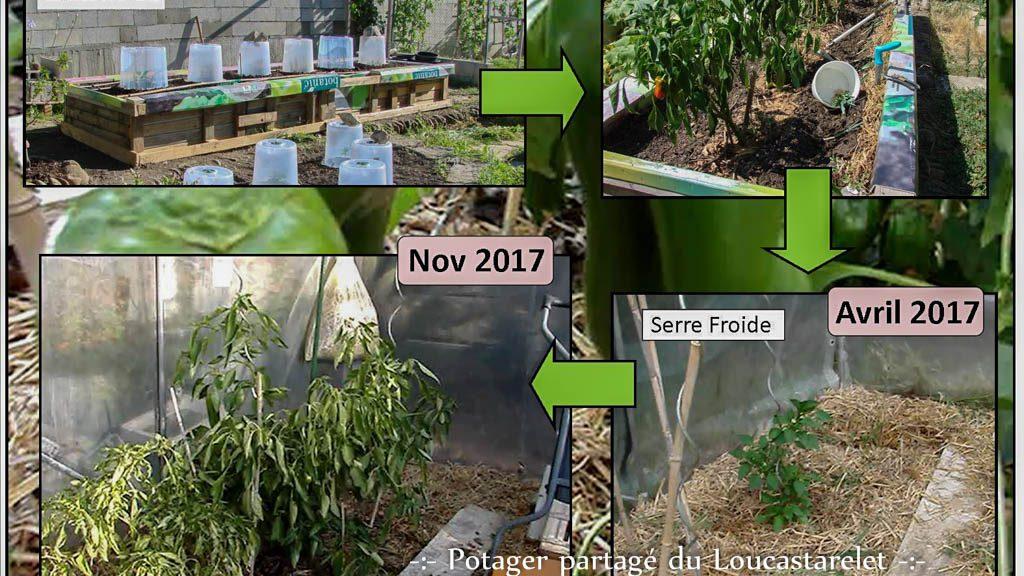 Transplantation de poivron en serre froide - poivron pluriannuel - Experience DZprod Jardin