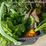 Récolte au petit kajo pour une salade du jour - 09-02-2018 - DZprod Jardin