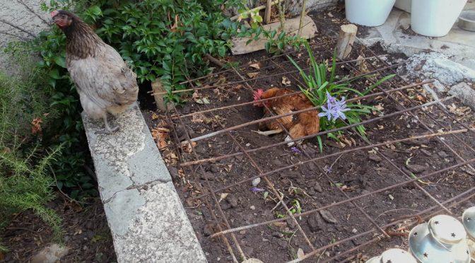 Ma poule est contorsionniste !