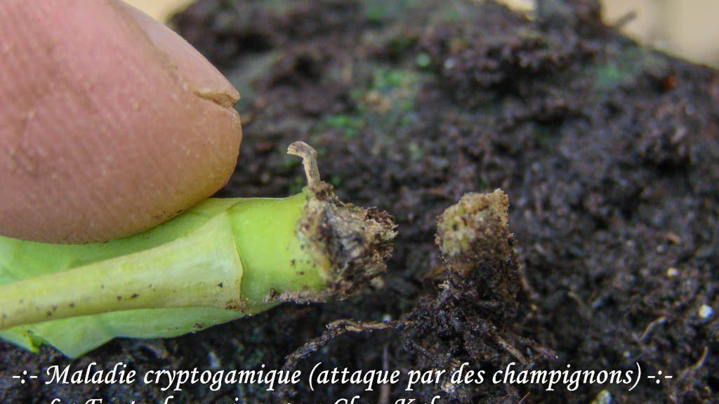 Fonte du semis - Base du collet attaqué - chou Kale - botanic® - 08-03-2017