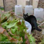 belle salade - belle chatte - belle salade - mon jardin me le rend bien - dzprod jardin