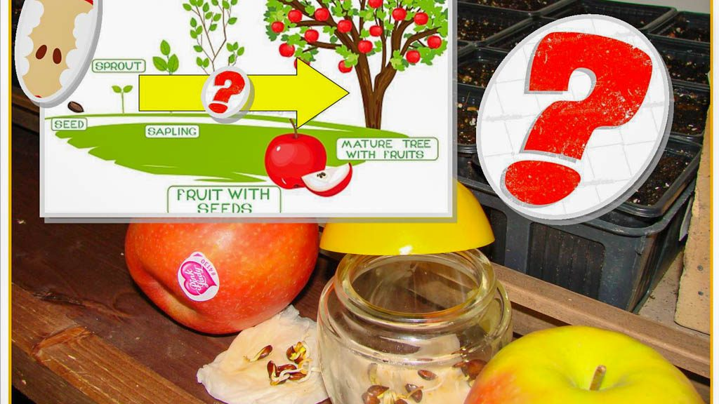 test semis pepin de pomme du commerce - dzprod Jardin