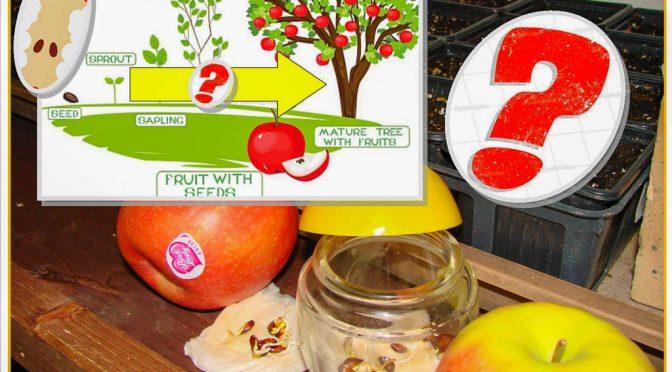 pépin de pomme du commerce : SEMIS – GODET – ARBRE ?