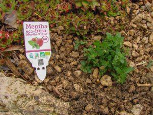 Menthe fraise directement plantée dans les cailloux d'une allée - DZprod Jardin