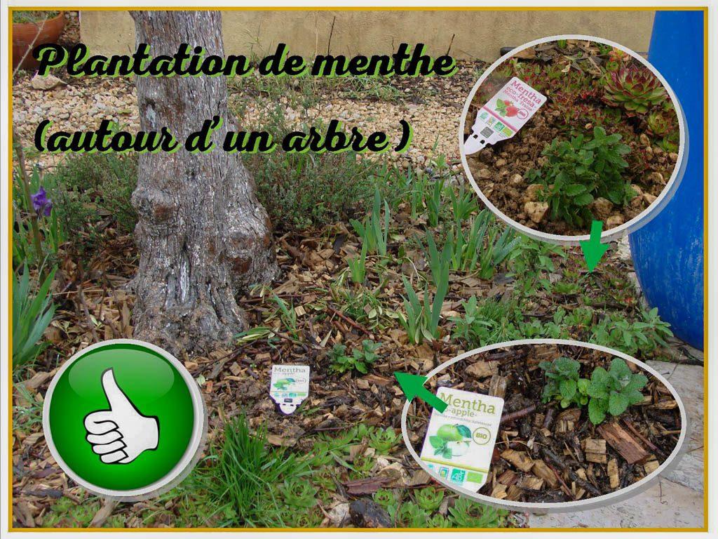 Plantation de menthe pomme et menthe fraise dans un tour arbre - DZprod Jardin