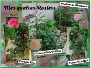 Mes 4 rosiers au 06-05-2018 - dzprod Jardin