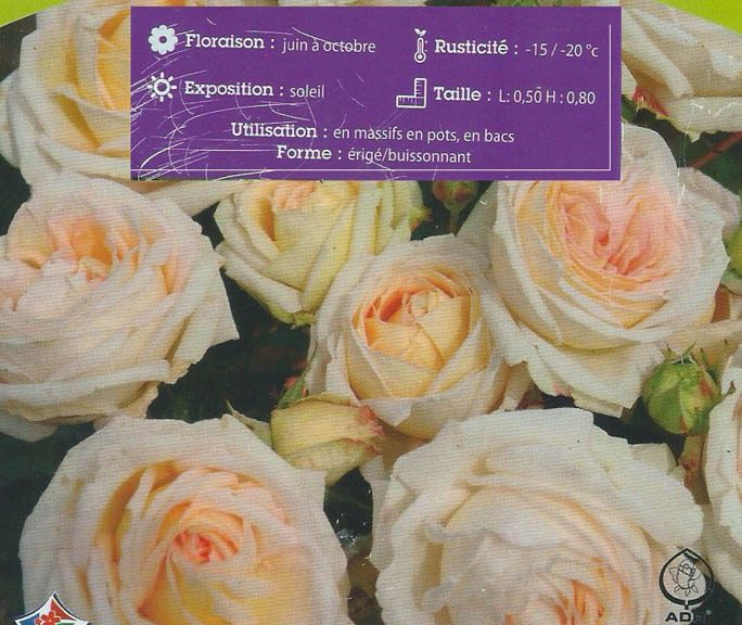 Rosier Madame de la Vallière - Kordes - globe planter - dzprod Jardin