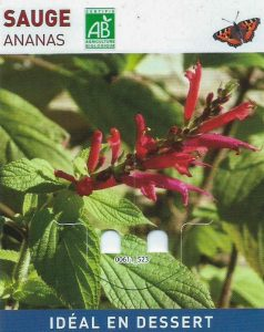 Sauge Ananas - devant la boîte aux lettres - dzprod Jardin