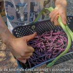 La récolte de Antoine haricot Melisa - Jardin du LouCaszcarelet - bande A - 24-07-2018