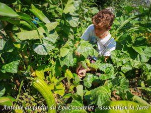 Récolte Antoine haricot Melisa - Jardin du LouCaszcarelet - bande A - 24-07-2018
