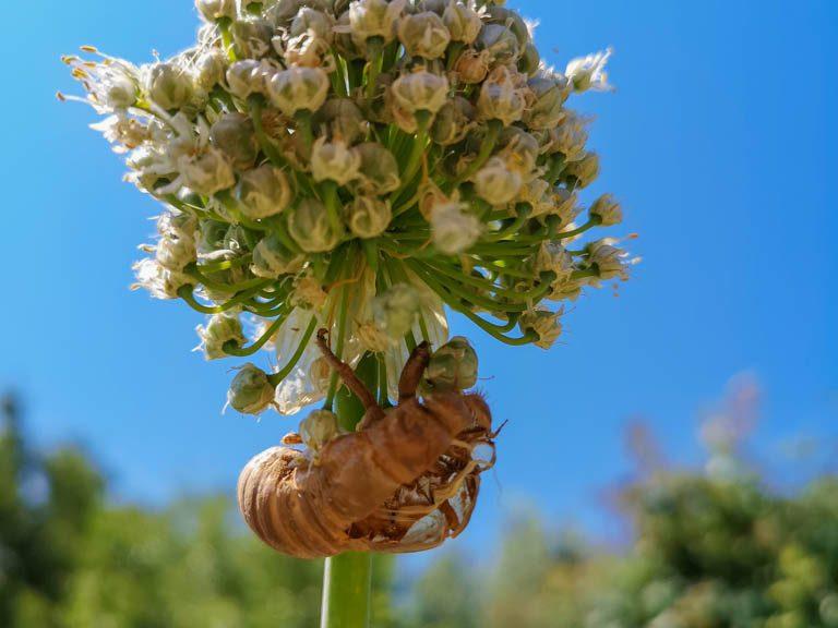 Exuvie de cigale sur fleur oignon - jardin urbain du Pébrier - DZprod Jardin
