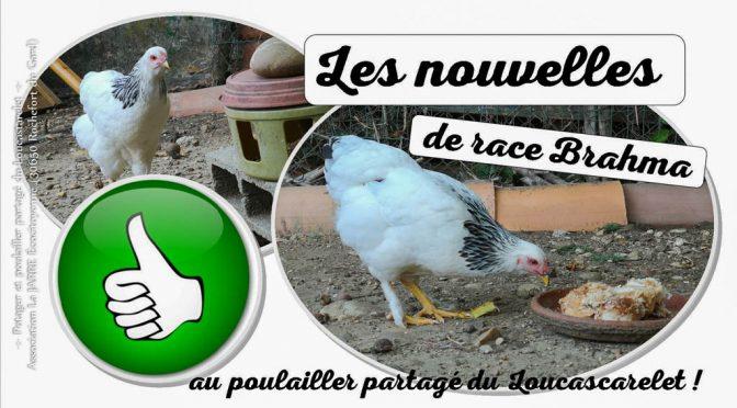 Introduction de poules Brahma au poulailler partagé du Loucascarelet – 11-08-2018