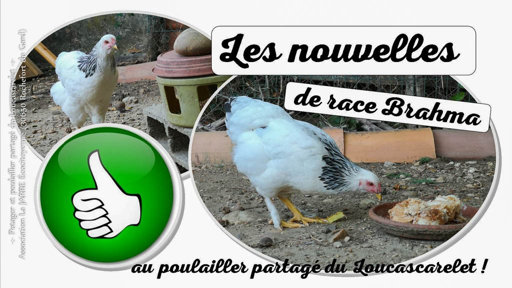 Introduction de poules Brahma au poulailler partagé du Loucascarelet - 11-08-2018