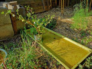 Pourpier à tortue repiqué en pot de 1 litre - dzprod jardin
