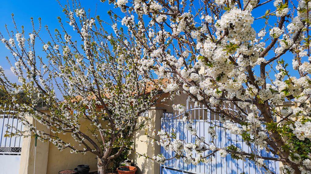 Cerisier SUMMIT au 25 mars 2019 -DZprod Jardin