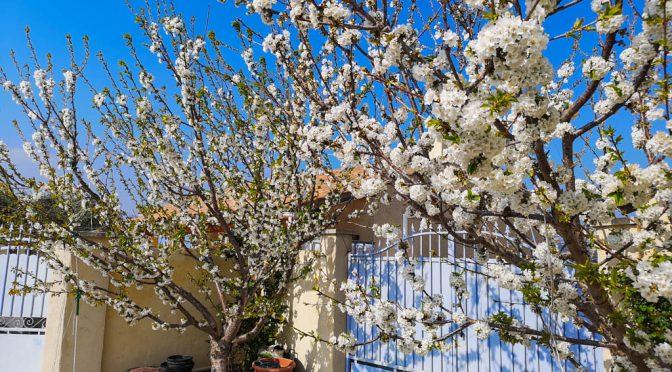 Floraison (cherry blossom) avec 15 jours d'avance cette saison 2019 !