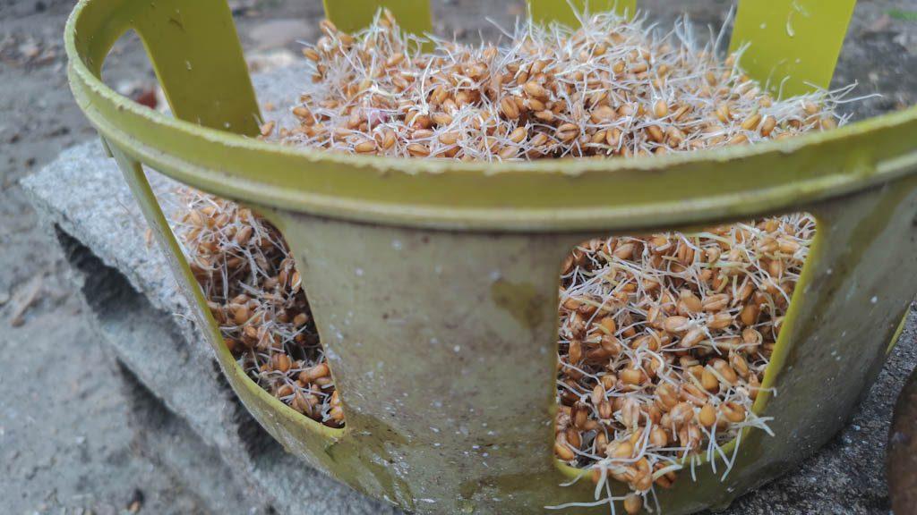 blé germé en plus du mélange bassecour - DZprod jardin -