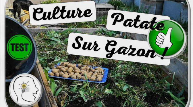 Culture de pomme de terre improvisée sur Gazon
