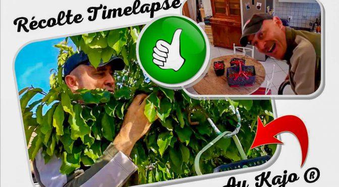 Récolte des cerises au Kajo® 2019 + recEtte du clafouti express