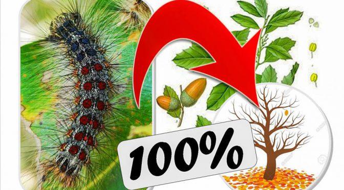 Chenille bombyx mange les feuilles des chènes