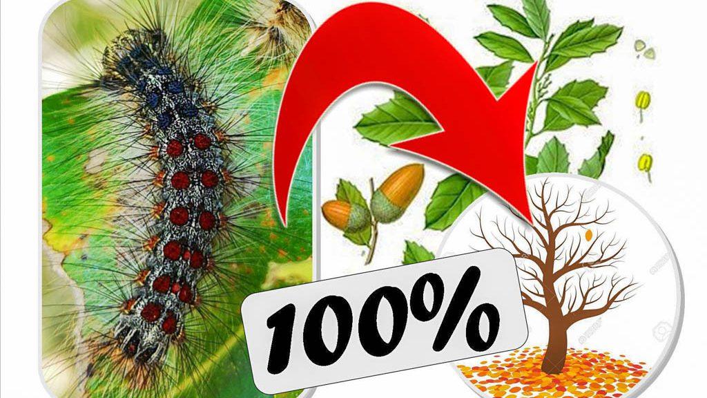 Chenille bombyx disparate mange les feuilles des chenes en Ardeche