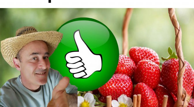 Astuce pour multiplier vos fraisiers par stolon