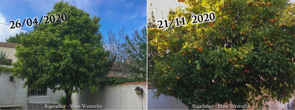Bigaradier-Westelin_26-04-et-21-11-2020