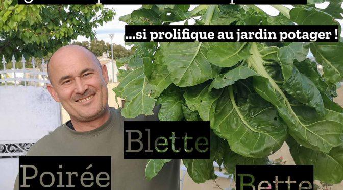 Plante productive au jardin potager : La Blette ou bette ou Poirée (3 noms, même Plante)