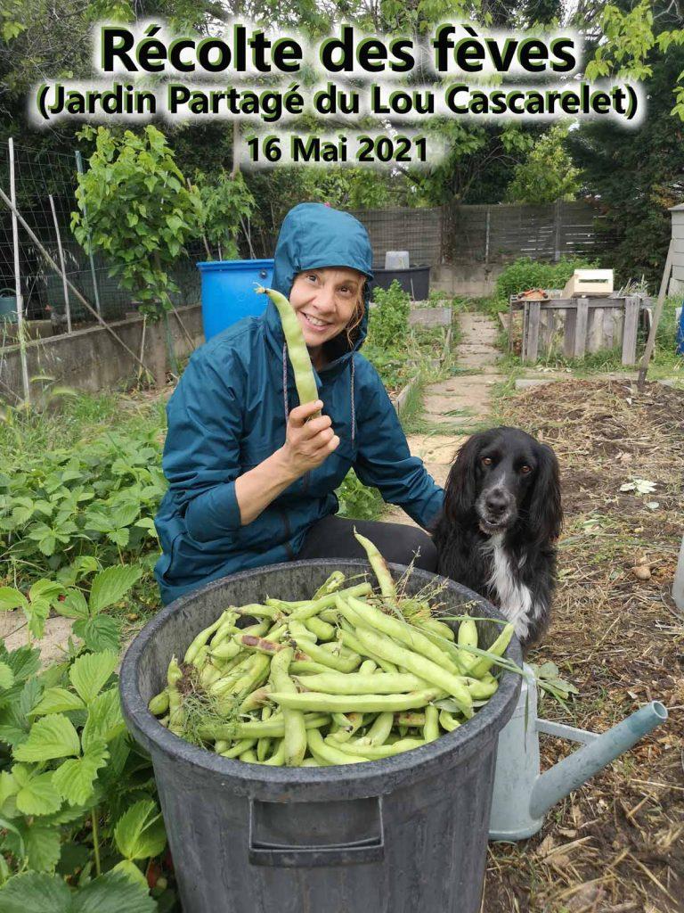 recolte-feve---sandryne---jardin-du-Lou-Cascarelet---16-mai-2021