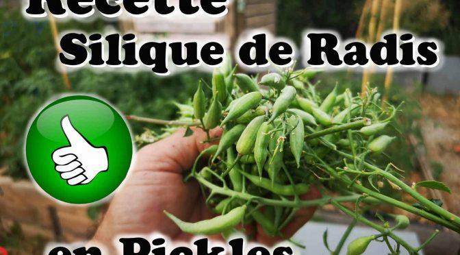 Pickles de siliques de radis