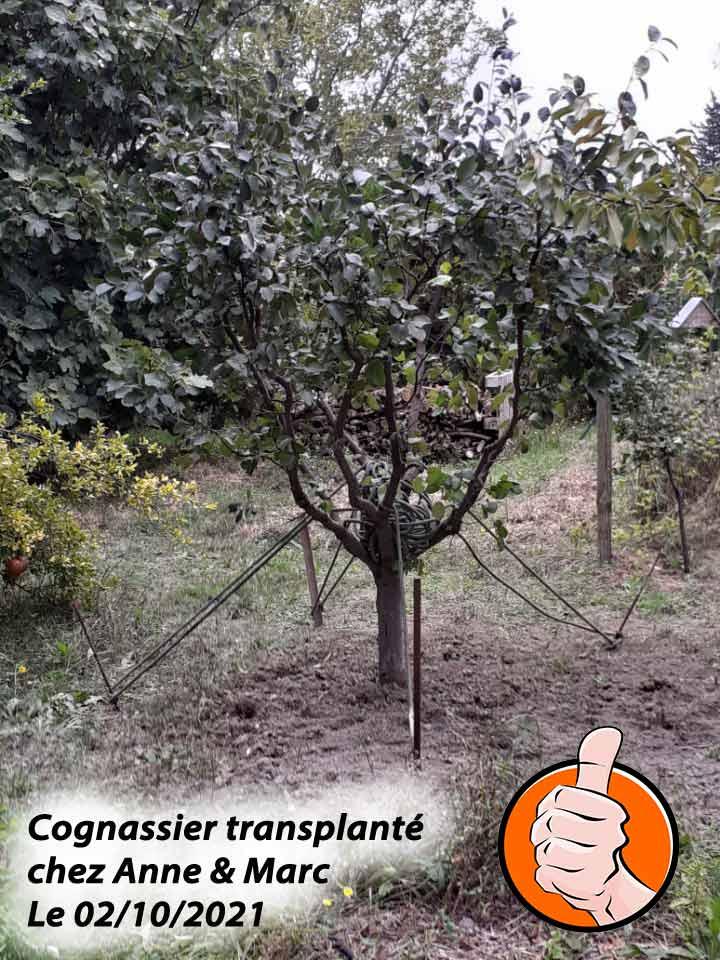 cognassier-Champion-transplante-chez-Anne-depuis-DZprod-Jardin